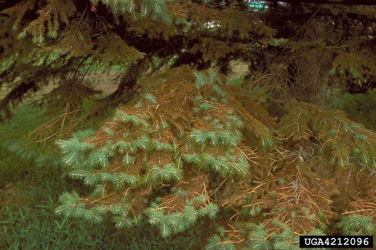 Spruce Tree with Rhizosphaera