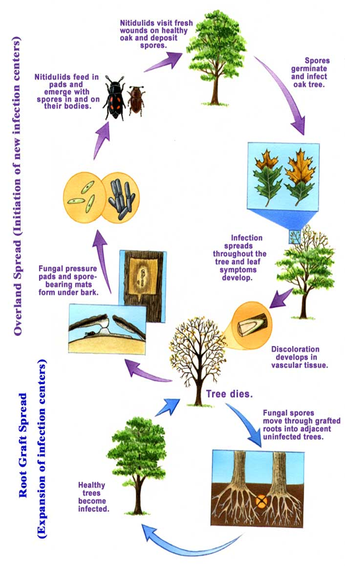 Oak Wilt Life Cycle