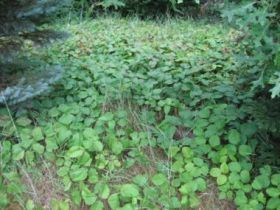 Poison Ivy Infestation